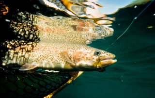 Colorado Trout Species